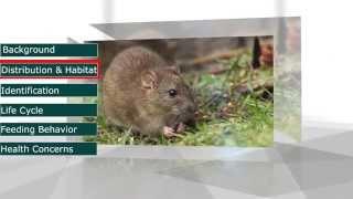 Pestec: The Norway Rat (Rattus norvegicus)