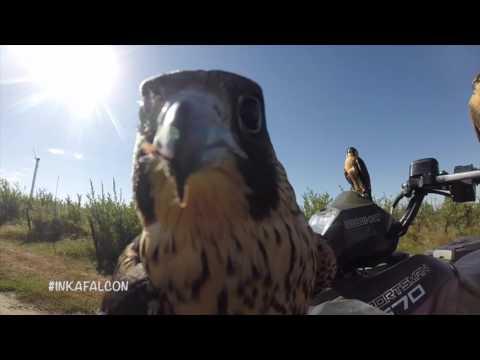 Inka Falcon Bird Abatement Www.inka-falcon.com