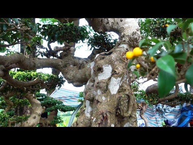 Từ cây phôi đến cây mịn nhiều quả giá hợp lý - cheap bonsai trees