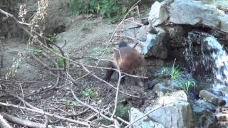 Wolverine in Zoo Opole - Rosomak w Zoo Opole