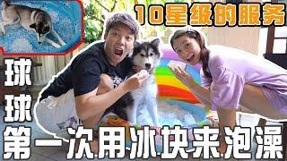 第一次用冰塊幫哈士奇泡澡!狗狗的反應是?10星級的服務!
