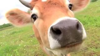Джерсейские коровы