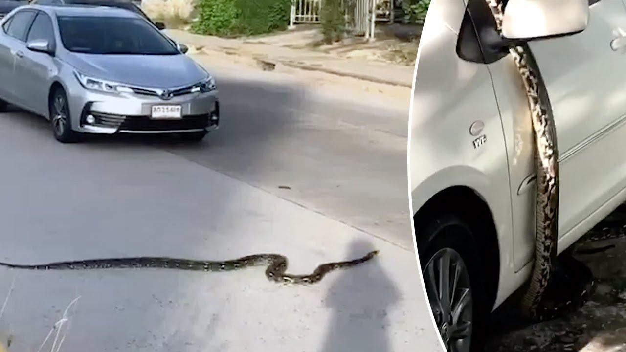 הרגע המדהים בו פיתון ענק עצר את התנועה בכביש בתאילנד