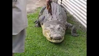 Huge Croc Fed Like a Pet | Johnstone River Crocodile Farm | Innisfail, Australia
