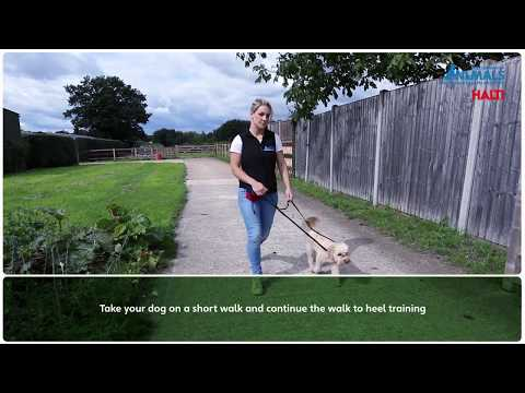 Non Pull Training Your Dog With The Halti OptiFit Headcollar