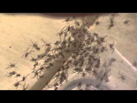 Baby Black Widow Spiders 200 Babies Born Oct 20th Youtube