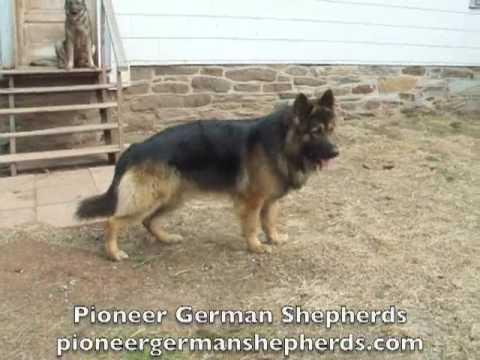 Large Boned German Shepherds Ash, Sig, Sheba - Big Boned ...