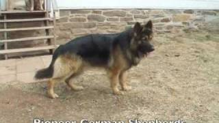 Large Boned German Shepherds Ash, Sig, Sheba - Big Boned German Shepherds