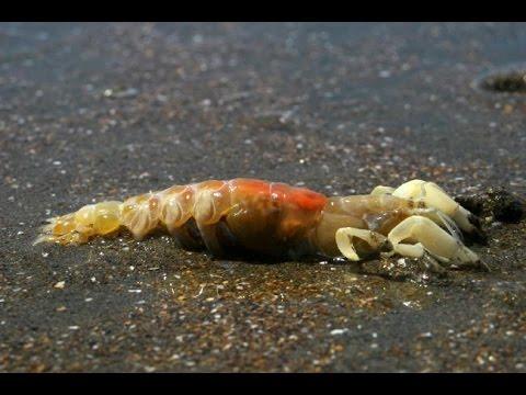 Sacho o marucha - carnada para pesca - Playa Paraiso Huacho