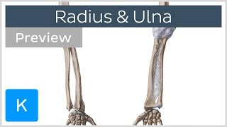 Bones of the forearm - Radius and ulna (preview) - Human Anatomy | Kenhub