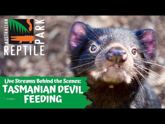 TASMANIAN DEVIL FEEDING (LIVE FOOTAGE) | AUSTRALIAN REPTILE PARK