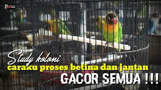 Download lagu STEP PASTI BUNYI : LOVEBIRD JANTAN BETINA GACOR SEMUA