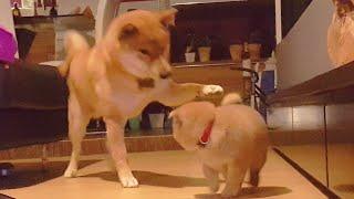 Daddo loving potat (ii) - MLIP / Ep 70 / Shiba Inu puppies