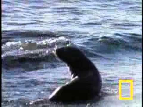 Cá voi sát thủ săn sư tử biển - VnExpress.flv
