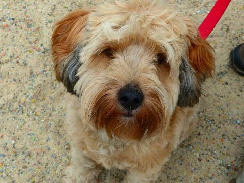 Kippe - Tibetan Terrier - 3 Week Residential Dog Training at Adolescent Dogs