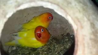 Love Birds Breeding Tips And Information Love Birds Breeding Season [ Video In Urdu & Hindi ] .