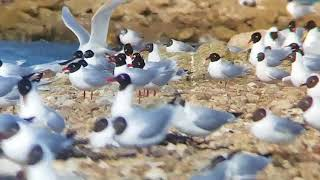 Black-headed and Mediterranean Gulls at the West Hayling LNR, March 22nd 2018