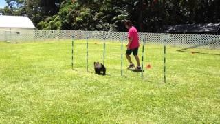 Molly Cairn Terrier Agility -  Second Standard Run Aug 16 Clean