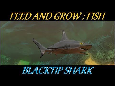 Feed and grow : Fish - Blacktip shark