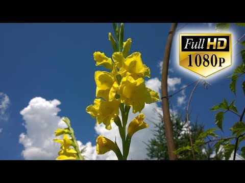 Beautiful Nature Flowers Video Full HD - Beautiful Nature Scenery  - Plants and Flowers Wallpappers