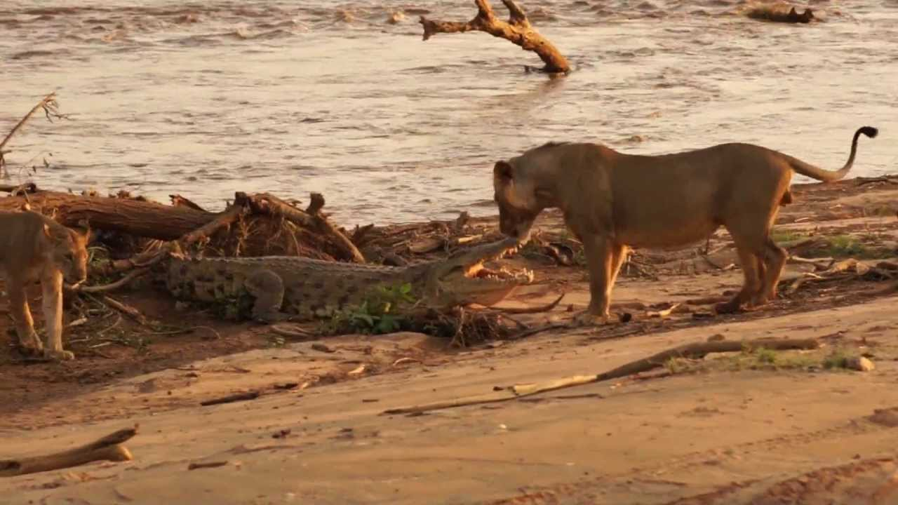 Maneless Lion vs. Crocodile - YouTube