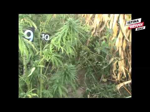 KURIR TV MUNJEVITI UPAD POLICIJE: 23 pitbula čuvala marihuanu u Sremskoj Mitrovici