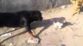 شاهدة المعجزة...3 كلاب بوليسية مرعوبون من قطة صغيرة
