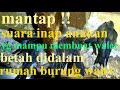 Suara Inap Anakan Walet Yg Bikin Walet Enggan Keluar Dari Dalam Rbw  Mp3 - Mp4 Download
