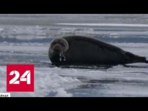 Нерпы и семь видов льда: зимний Байкал ждет туристов