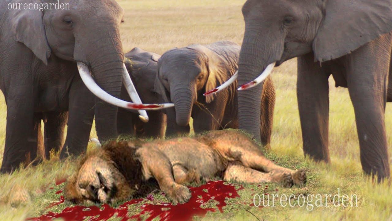 Lion Fight vs African Elephants fight Lion vs Hyena Fight Animals Gone Crazy Vicitms Fight back