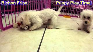 Bichon Frise, Puppies, For, Sale, In, Indianapolis, Indiana, In, Valparaiso, Goshen, Westfield, Merr