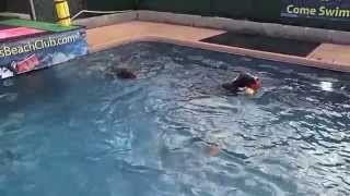 Pit Bull Terrier Toby, German Shorthaired Pointer Gracie & German Wirehaired Pointer Swimming