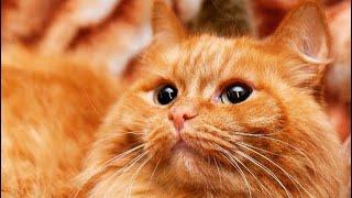 Красивые рыжие коты