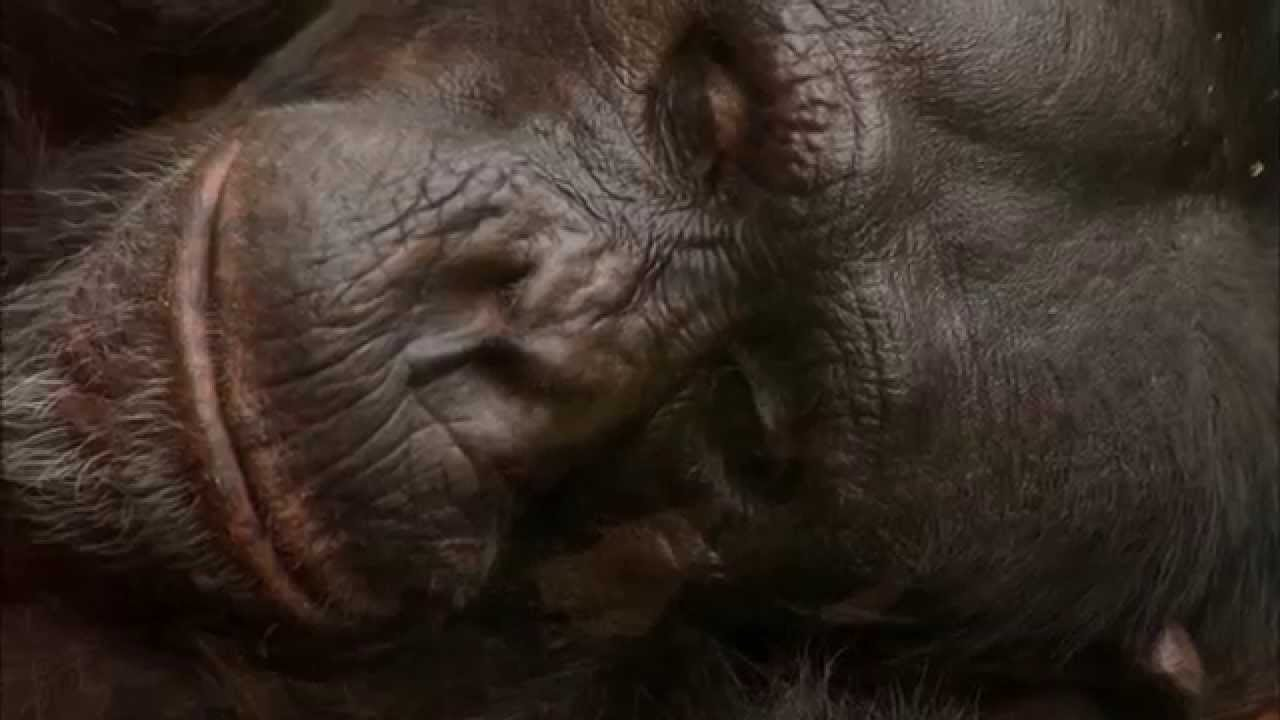 Download Wild Life at the Zoo Season 1 Episode 1 - The Chimpanzees are on the Move