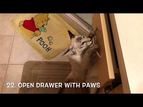 Balinese Cat Darci learned 30 tricks!