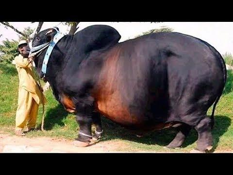 15-giant-farm-animals-on-the-planet!