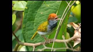 Video Kicau Burung Prenjak Lumut Kualitas Jernih cocok untuk masteran download MP3, 3GP, MP4, WEBM, AVI, FLV Juni 2018