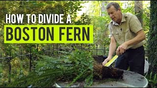 How to Divide a Boston Fern