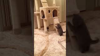 Британские котята играют