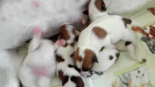 ジャックラッセルテリアの子犬の出産子育てビデオです。2010年1月...