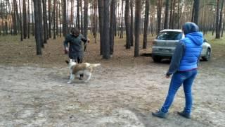 Воспитание непослушной собаки. Московская сторожевая.