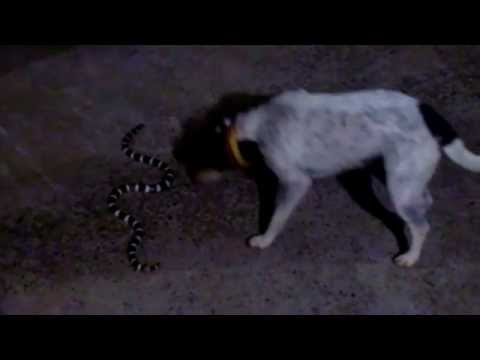 """Cats and dogs playing together"""" Cute dog vs snake!"""""""