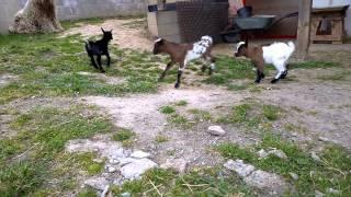 Kůzlata kozy zakrslé 2015