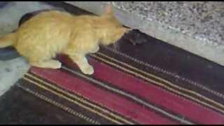коте си играе с мишка