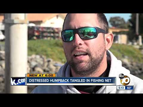 Distressed Humpback Tangled In Fishing Net Off San Diego's Coast