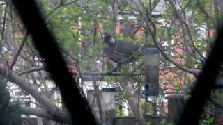 A Wood Pigeon Trying And Failing To Reach A Bird Feeder.