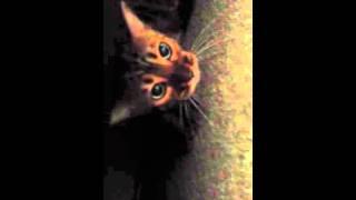 bengal cat chirping