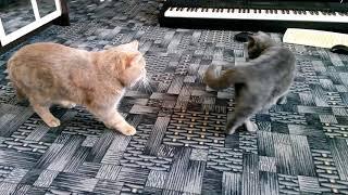 Кот разговаривает в танце, кошка  говорит день семьи, любви и верности. Милое видео VivaVideo!