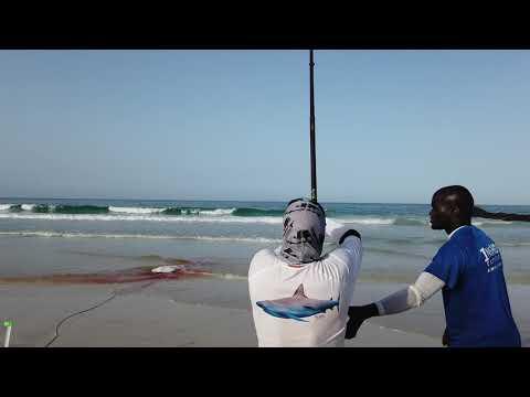HEAVY SURF CASTING BLACK TIP SHARK - INSHORE EXPERIENCE FISHING CAPE VERDE SAL ISLAND