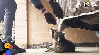 Man Rescues Raccoon Choking From Car Tarp   The Dodo by : The Dodo